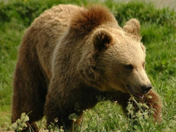 Rezervația Libearty a ajuns la 81 de urși recuperați din captivitate